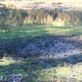 A sambar wallow in salt marsh at Lake Tyers.