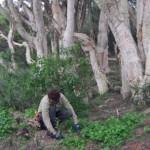 Bush Regeneration in Mosman Council area, Sydney