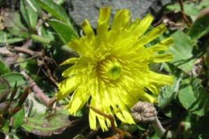 mouse-ear hawkweed
