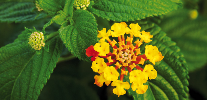 Lantana, a scourge across more than 4 million hectares of eastern Australia, is a threat to more than a thousand native plant species. Photo: Joaquim Alves Gaspar (CC BY-SA 3.0)