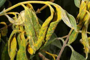 Myrtle rust - a disease of one of our largest plant families.