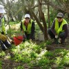 Volunteers remove bridal creeper from bushland at Handkerchief Beach, Narooma, NSW. Photo: Flickr-HankyHelper