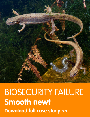 Biosecurity failure: Smooth newt