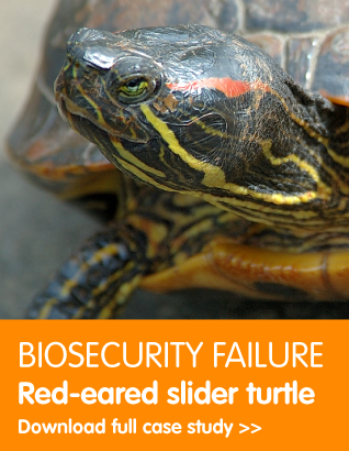 Biosecurity failure: Red-eared slider turtle