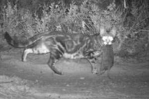 With the survival of so many Australian mammal species now under serious threat from feral cats, it's more important than ever that we bring them under control.