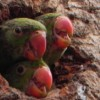 The Indian ringneck has been recognised as an 'extreme threat' in Australia, with a high risk of establishing in the wild. Image: Sarthak Shah, Creative Commons Licence Share Alike 3.0