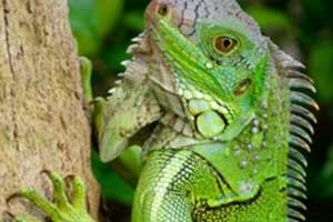 Green iguana by Garen-Meguerian