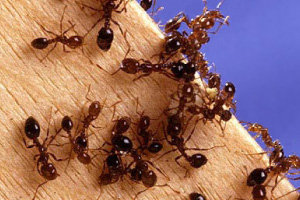 Australia has so far failed to prevent and eradicate dangerous and costly red imported fire ants.