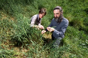Canary grass is an invasive plant, but new varieties are still being developed for pasture. Stuart Hay