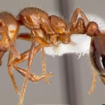 Fire ants are up to 6mm long and reddish-brown in colour.
