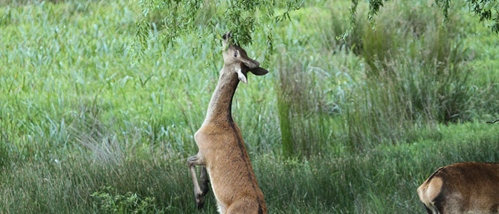 The number of feral deer is increasing in The Grampians and many other parts of Victoria.
