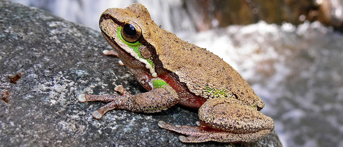 Blue Mountains Tree Frog, Litoria citropa (Benjamint444, GNU Free Documentation Licence)