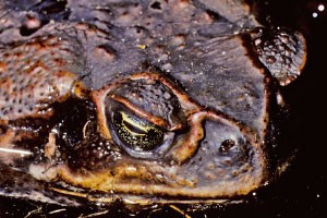 feat-cane-toad