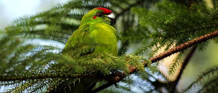 Norfolk Island Parrot