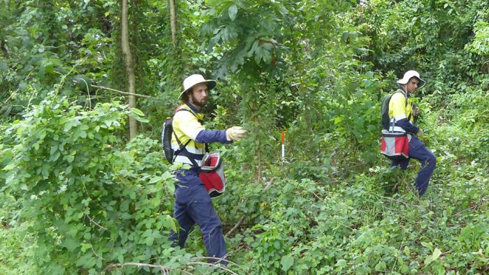 Searching for yellow crazy ants in Queensland's wet tropics rainforests. Photoi: Jaana Dielenberg