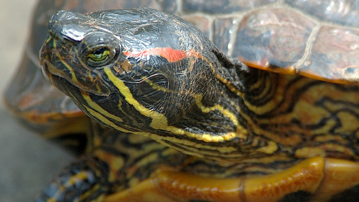 A new approach to red-eared slider turtles was one of the recommendations made by the Invasive Species Council in a submission to the NSW government about pest animal management in the state. Photo: Benjamin Lewis, Flickr, CC licence 2.0