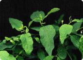 project-plant-disease