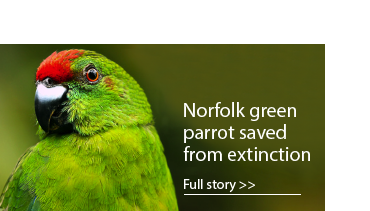 Can the Norfolk Island parakeet dodge extinction