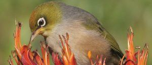 A special 'biosecurity zone' for Lord Howe Island would be highly beneficial to prevent invasion from new weeds and pests. Rats and mice are responsible for the extinction of five bird species on the island, but there is still hope for remaining birds like the endemic Lord Howe Island White-eye. Photos: Lord Howe Island, Robert Whyte; Lord Howe Island White-eye, Eric de Leeuw – Flickr CC licence 2.0