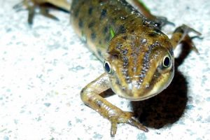 Smooth newt. Photo: John Beniston (CC BY-SA 3.0)
