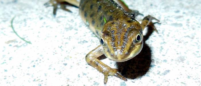 Smooth newt. Photo: John Beniston (CC BY-SA 3.0)