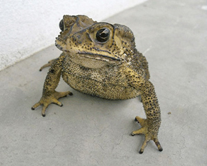 Asian black-spined toad. Photo: DEPI