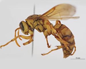 Macau paper wasp. Image use CC BY 3.0 AU