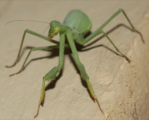 South African preying mantis detected in Victoria. Photo: Adam Edmonds | BowerBird.org.au