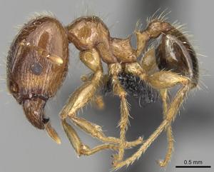 African big-headed ant. Photo: Shannon Hartman | antweb.org | CC BY 3.0 AU