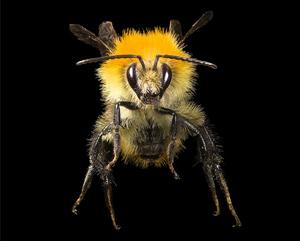 Carder bee. Photo: Didier Descouens | wiki | CC BY-SA 4.0