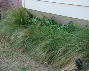 Mexican feathergrass used in a garden. Photo: Stealingsand | Flickr | CC BY 2.0