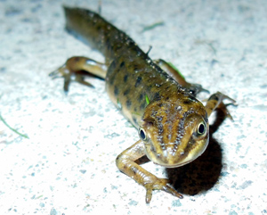 Skin secretions produced by smooth newts could prove deadly to native birds in Melbourne's suburbs. Photo: John Beniston (CC BY-SA 3.0)
