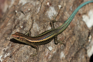 The Blue-tailed Skink is endemic to Christmas Island. Photo: Parks Australia