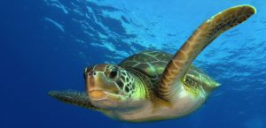 Barrow Island supports internationally significant nesting populations for two species of threatened marine turtles, the flatback and green turtle (pictured). Photo: Green sea turtle | Philippe Guillaume | Flickr | CC BY-NC 2.0