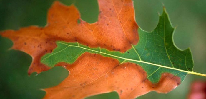 Leaf of scarlet oak with some banding of colours between scorched and symptomless tissue but barely any yellow band. Photo: John Hartman, University of Kentucky, Bugwood.org | CC BY 3.0