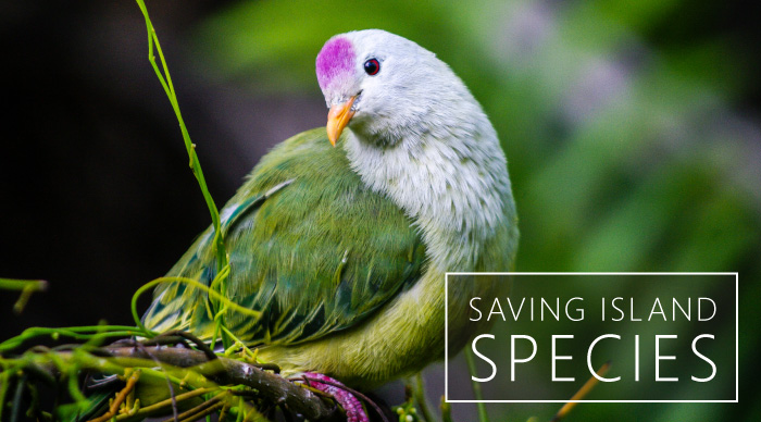 Photo: Atoll fruit dove | Tommy Hall © Island Conservation