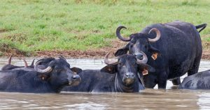 Water buffalo in the Northern Territory. Photo: Geoff Whalan | Flickr | CC BY-NC-ND 2.0