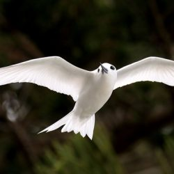 A white tern flying over Lord Howe Island. Photo: Patrick Kavanagh | Flickr | CC BY 2.0
