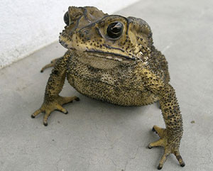 Asian black-spined toad.