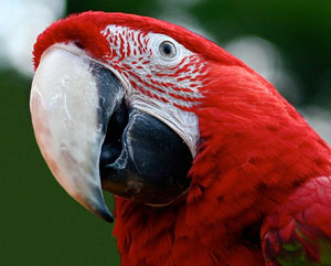 The importation of parrots into Australia has had unintended outcomes, introducing avian bornaviruses into the country. Photo: Tom Woodward | CC BY-SA 2.0