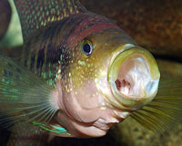 Jack Dempsey cichlids are adaptable, prolific breeders. Photo: Nikonian Novice | CC BY-ND 2.0