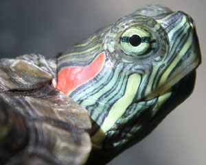 Red-eared slider turtles have been rated one of the world's worst invasive species. Photo: Jim, the Photographer | Flickr | CC BY 2.0