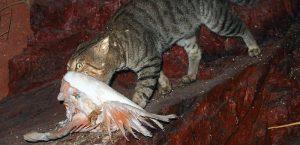Feral cat with galah. Photo: Mark Marathon   CC BY-SA 4.0
