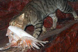 Feral cat with galah. Photo: Mark Marathon | CC BY-SA 4.0