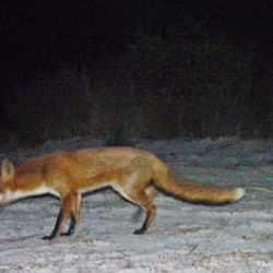 Eradicating foxes before they become well established will avert major harm to wildlife. Photo: Queensland Parks and Wildlife Service, published in Allen et. al. (2017)