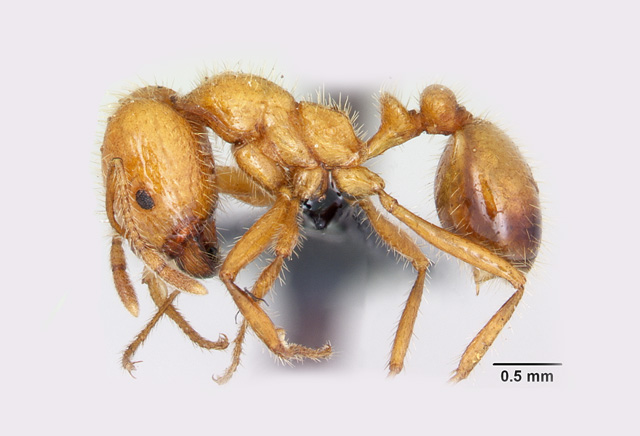 Tropical fire ant workers measure between 1 and 5mm and attack any intruder that disturbs their nest. Photo: April Nobile, from www.AntWeb.org