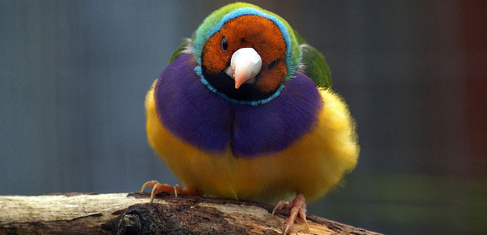 Feral horses and pigs, introduced diseases and fire all threaten the nationally endangered Gouldian finch.