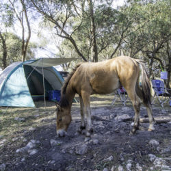 Feral horse at blue waterholes camping ground, Kosciuszko National Park 3 Mar 2019 by Justin McManus