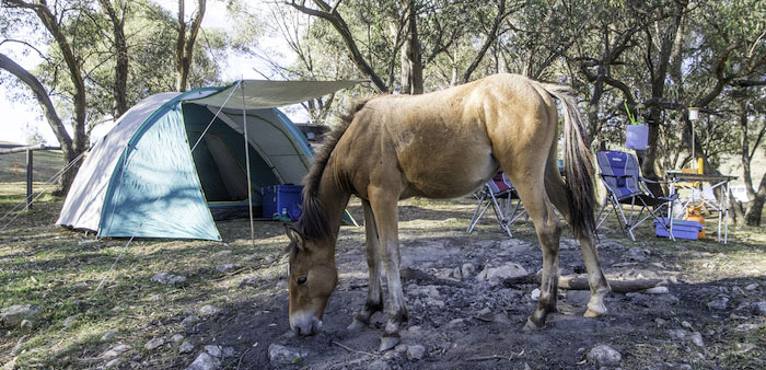A feral horse at blue waterholes camping ground, Kosciuszko National Park, 3 March 2019 by Justin McManus.