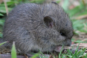 Broad-toothed mouse. Photo Magnus Kjaergaard | CC BY 3.0